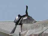 An anhinga drying her wings.