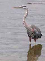 a Great Blue Heron standing on the shore of the Intracoastal Waterway in Flagler Beach, Florida