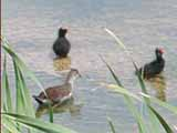 Ducks in a water hole