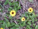 Brown-Eyed Susans on the Dune