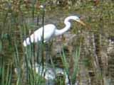 a white egret walking through marsh waters