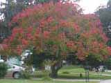 s Royal Poinciana Tree with peach-colored flowers covering the top and sides of the tree