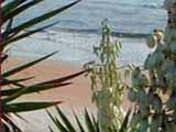 Flagler Beach Florida and a Spanish Bayonette in bloom